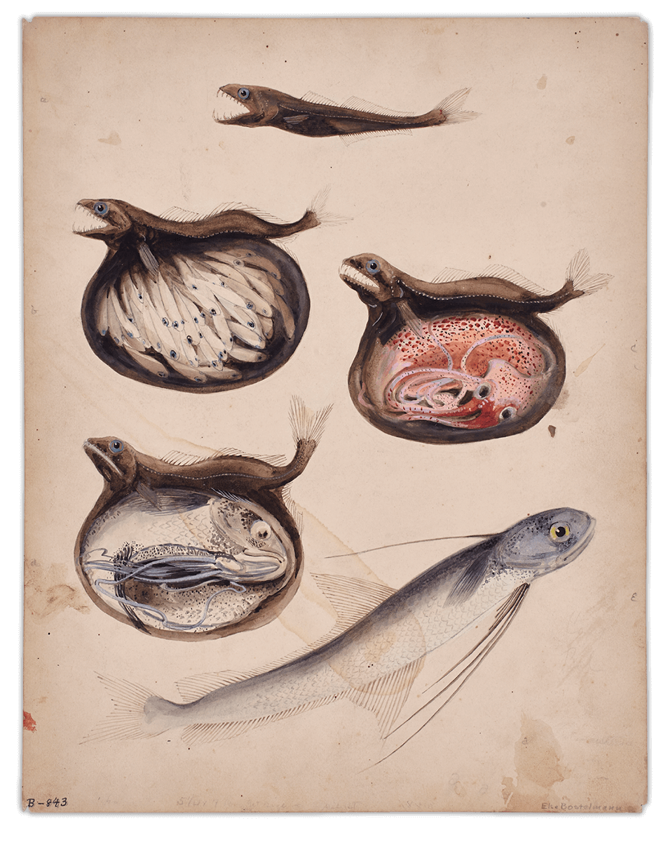 Else Bostelmann, Chiasmodon niger stomach contents, Bermuda 1931. Watercolor on paper, 11.5 x 14.5 inches Photograph by Martin Parsekian. © Wildlife Conservation Society. Reproduced by permission of the WCS Archives.
